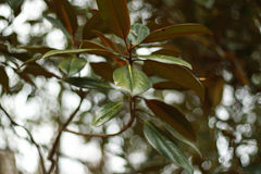 Rhododendron Στοκ Φωτογραφία