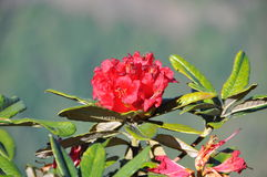 Rhododendron Στοκ Εικόνες