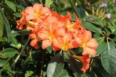 rhododendron Imagens de Stock