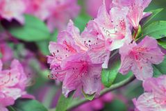 Rhododendron. Fine pink rhododendron flower in a garden Stock Photography