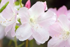 Rhododendron. White rhododendron blossom against blur background Stock Photo