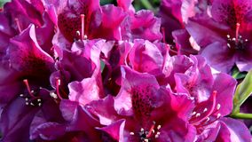 rhododendron stock video