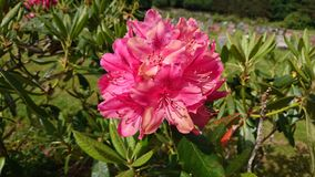 rhododendron Imagens de Stock Royalty Free