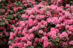 Rhododendron. A rhododendron bush Stock Photos