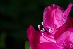 Rhododendron Stockfotografie