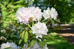 rhododendron Stockfoto