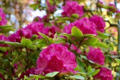 rhododendron Lizenzfreie Stockbilder