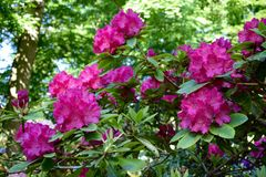 rhododendron Lizenzfreies Stockfoto