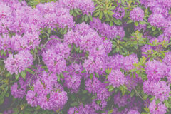 Rhododendron.  Stock Image