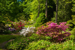 Rhododendron abundance Royalty Free Stock Photography