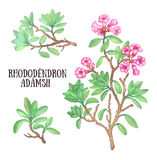 Rhododendron adamsii sagan-dali  labrador tea bush watercolor illustration Royalty Free Stock Image