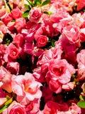 Rhododendron ajusté Photos stock