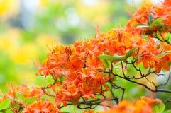Rhododendron alaranjado Fotografia de Stock