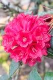 Rhododendron arboreum Lizenzfreie Stockfotos