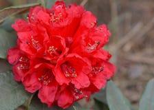 Rhododendron arboreum (Azalea) in doi inthanon national park Stock Images