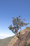 Rhododendron arboreum Stock Image