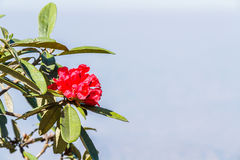 Rhododendron arboreum flower Royalty Free Stock Photography