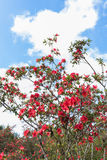 Rhododendron arboreum Stock Images
