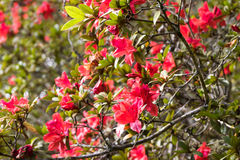 Rhododendron arboreum Royalty Free Stock Photography