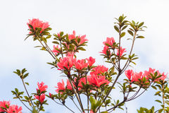 Rhododendron arboreum Royalty Free Stock Image