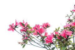 Rhododendron arboreum Royalty Free Stock Photos