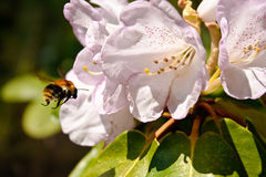 Rhododendron and attracted bumblebee Royalty Free Stock Image