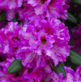 Rhododendron_ Baden-Baden, Germany Royalty Free Stock Photography