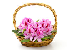 Rhododendron in a basket royalty free stock image