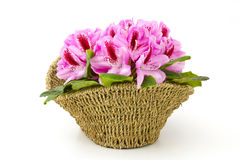 Rhododendron in a basket royalty free stock photography