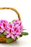 Rhododendron in a basket royalty free stock photo