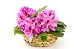 Rhododendron in a basket royalty free stock images
