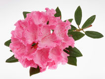 Rhododendron. Beautiful pink flower on white background Royalty Free Stock Image