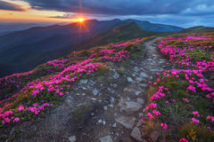 Rhododendron. Beauty rhododendron in high mountains Stock Images
