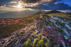 Rhododendron. Beauty rhododendron in high mountains Stock Photo
