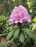Rhododendron beim Blühen Stockfotos