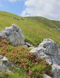 Rhododendron blüht, alpine Weidenlandschaft, Slowenien lizenzfreie stockfotos