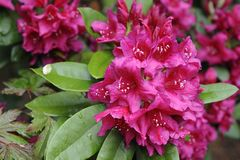 Rhododendron blüht in voller Blüte Stockfotografie
