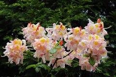 Rhododendron blüht in voller Blüte Lizenzfreie Stockfotos