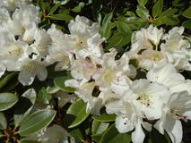 Rhododendron blanc Photo libre de droits
