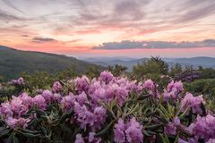 Rhododendron blommar med Pale Pink Sunset Behind Arkivfoto