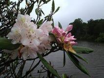 Rhododendron blomstrar i mist, sjödrag, NC Arkivfoto