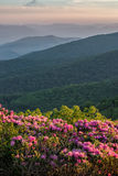 Rhododendron bloom, Appalachian Mountains, tennessee Royalty Free Stock Images