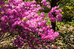 Rhododendron in bloom Stock Photos