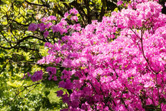 Rhododendron in bloom Stock Image