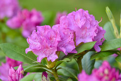 Rhododendron bloom. Rhododendrons or azaleas ornamental shrub, purple blooms in spring Royalty Free Stock Image