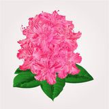 Rhododendron in bloom vector Royalty Free Stock Images