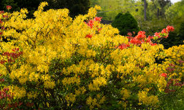 Rhododendron. Blooming rhododendron in the Botanical garden of Kaliningrad Royalty Free Stock Images