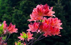 Rhododendron. Blooming rhododendron in the Botanical garden of Kaliningrad Stock Image