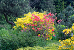 Rhododendron. Blooming rhododendron in the Botanical garden of Kaliningrad Stock Photography