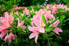 Rhododendron blooming bushes royalty free stock photo